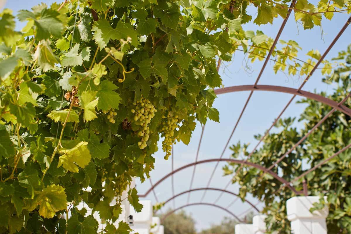 Vite albero uva - Masseria Almadava