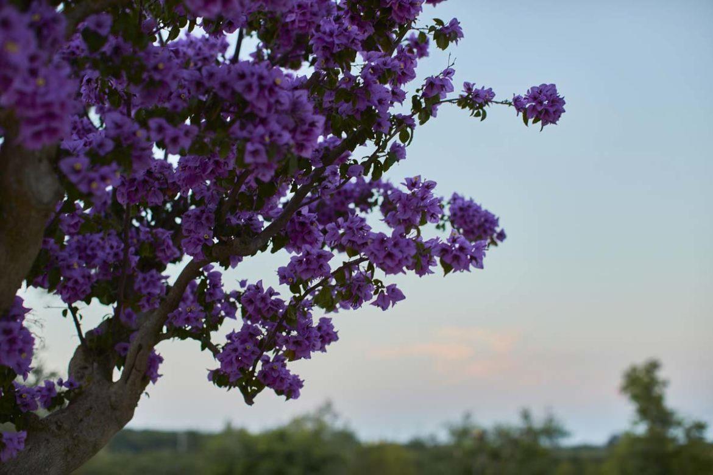 Flowery almond Almadava farm
